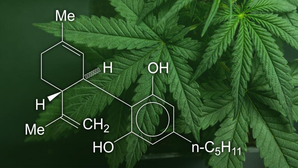 Come funziona l'olio di cannabis?